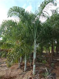Palmeira Areca de Lucuba