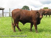 touros Santa Gertrudes registrados