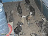 Faisão filhotes (coleira\versicolor)