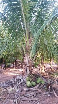 mudas de coco anão de todos os tamanhos em PROMOÇÃO