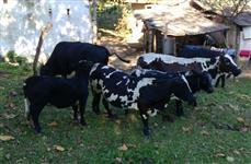 Mini Bovinos, Touro , Vacas e Bezerros