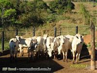 Gado Nelore, Touros e Vacas Nelore PO