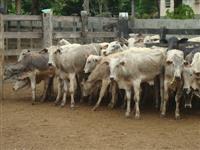 Compra e venda de gado no interior do Maranhão