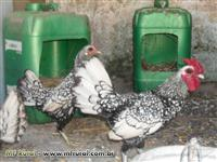 Ovos galados de Sebright prata