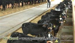 Vendo 35 bezerros holandes ou troco por Vacas girolando adultas