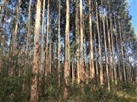 Floresta de eucalipto com 10 anos Guarapuava PR
