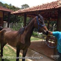 Vende-se Cavalos Arabes
