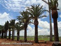 Palmeiras Phoenix canariensis