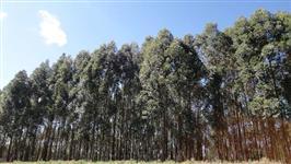Floresta de eucalipto uro grandis 5 anos-20 mil pes e 4 anos-15 mil pes
