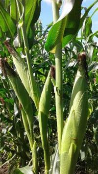 milho verde 1051