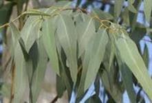 Vendo troncos de eucalipto