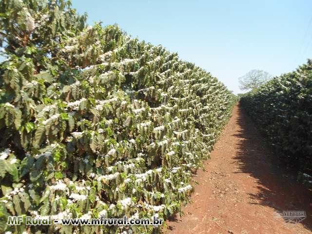 Sementes Fiscalizadas de CAfé - CAmpos de produção Irrigados e Alta Produção