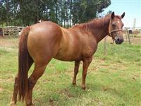 Cavalo quarto de milha pura origem