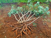15 Tarefas de Mandioca pronta para colheita