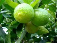 Sementes de limão galego (galeguinho)