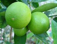 Limão galego - galeguinho da caipirinha
