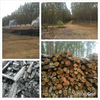 Eucalipto e carvão região de Minas Gerais ,Eucalipto e carvão região de Minas Gerais