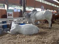 Venda de touros, doadoras, novilhas e bezerras Brahman POI