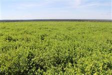 Estilosantes Campo Grande para Agricultura