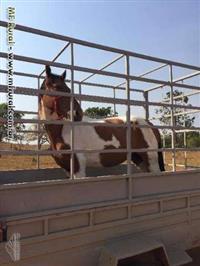 Cavalo Pampo marchador