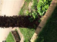 Palmeira Adulta Luque 5 mts