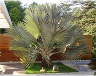 Bismarkia Nobilis Palmeira Azul