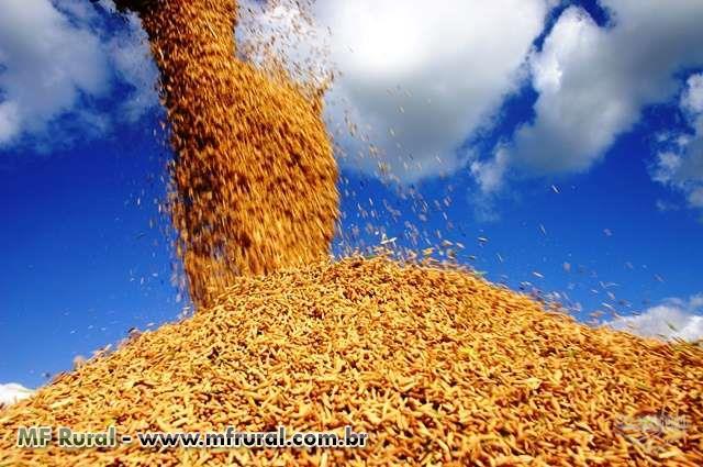 Arroz em casca a granel