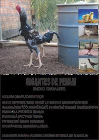 FRANGOS E FRANGAS DA RAÇA INDIO GIGANTE