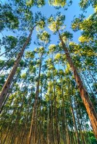 Vendo sítio com eucaliptos - 90 mil pés