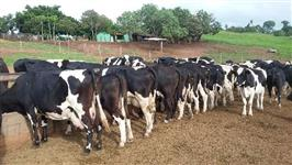 Novilhas leiteiras v3 e v4