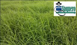 VAQUERO (bermudagrass unhulled + CD 90160) ORIGINAL - Imp. e Dist. Autorizada