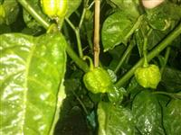 Pimenta Trinidad Scorpion in natura ou em Pasta