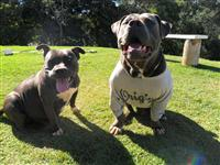 AMERICAN BULLY BLUE NOSE FILHOTES