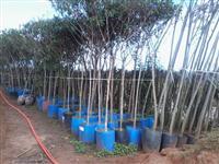 Mudas de árvores nativas para reflorestamento