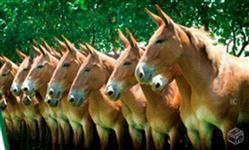 Mulas, burros, jumentos pega mangalarga