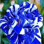 10 Sementes da Lindissíma Rosa Dragão Azul