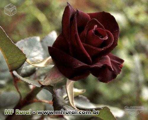 10 Sementes da Exótica Rosa Príncipe Negro