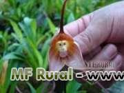 05 Sementes da Raríssima Orquídea Cara de Macaco