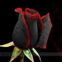 10 Sementes da Raríssima rosa Duas Cores