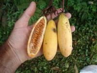 10 sementes do Maracujá Banana Passiflora mollíssima