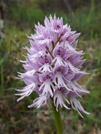 10 sementes da Orquídea Orchis Italica