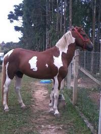 cobertura de cavalo mangalarga marchador pampa