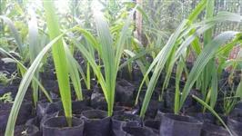 vendo mudas ornamentais frutiferas e para reflorestamento