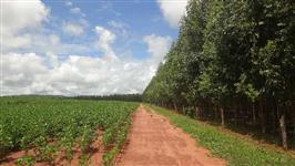 Floresta de Eucalipto no Triângulo Mineiro
