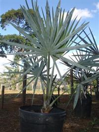Palmeira Bismarckia Nobilis (Palmeira Azul)