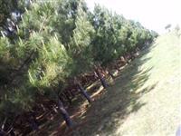 Toras de Pinus Elliottii