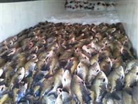 Pescados (Tambaqui, Pintado e Pirarucu)