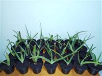 Mudas Babosa / Aloe Vera Barbadensis Miller