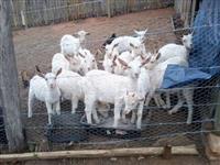 Cabras saanen