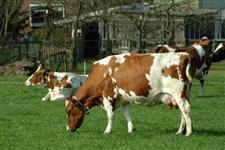 Consultoria e administração Rural, produção e reprodução de bovinos